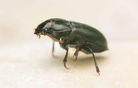 carabid: Beetle Stock Photo