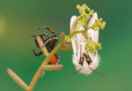 night butterfly - Spilosoma lubricipeda and Philaeus chrysops - Jumping spider photo
