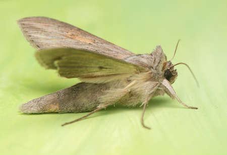 night butterfly - Cucullia umbratica