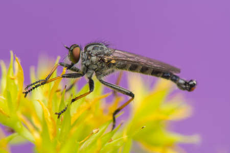 asilidae: Insect - Asilidae
