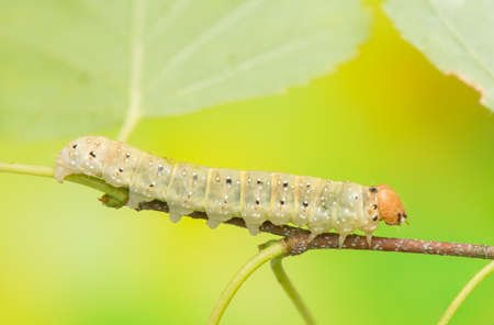 achlya: Caterpillar - Achlya flavicornis