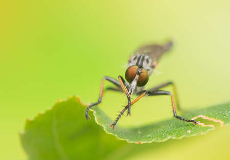 macrophotography: Insect - Asilidae