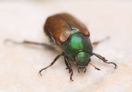 pronotum: Beetle - Phyllopertha horticola