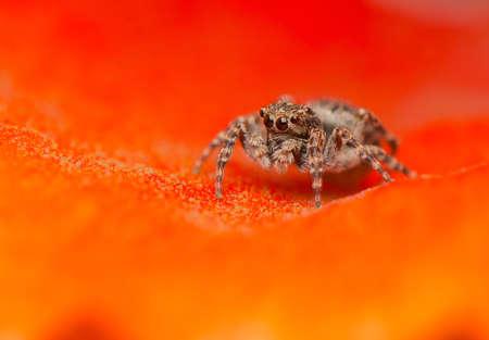 salticidae: Jumping spider - Sitticus pubescens Stock Photo
