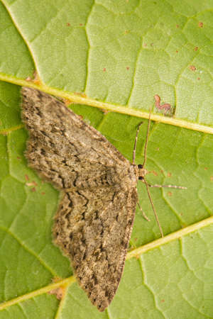 macrophotography: Moth - insect Stock Photo