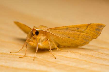 macrophotography: Moth