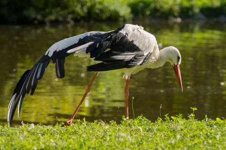 beack: Stork close up