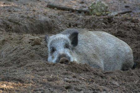 scrofa: Boar laying on the sand