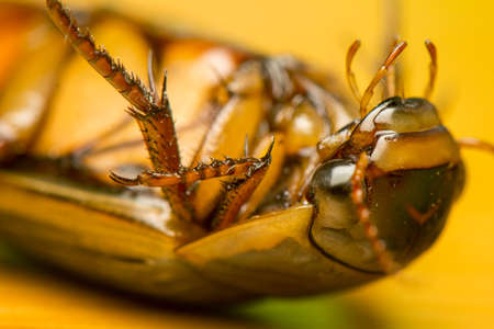 Dytiscus marginalis photo