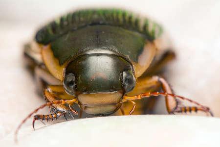 marginalis: Dytiscus marginalis
