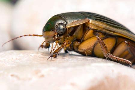 dytiscus: Dytiscus marginalis