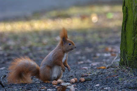 brusch: Squirrel  eating nuts
