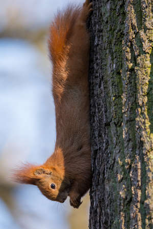 brusch: Squirrel climbing a tree