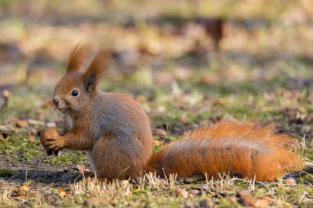brusch: Squirrel eating nuts Stock Photo