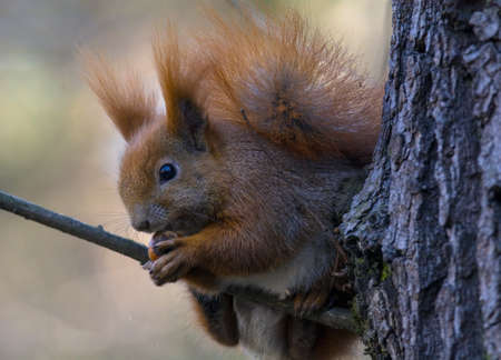 brusch: Squirrel climbing tree