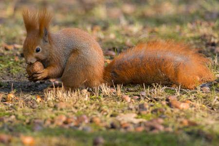 brusch: Squirrel eating nut