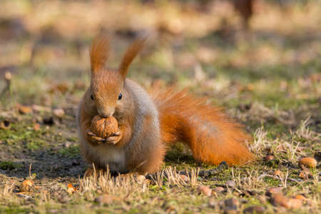 brusch: Squirrel eating nut