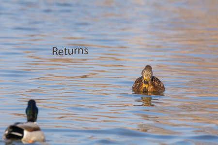 pato real: Pato real Foto de archivo
