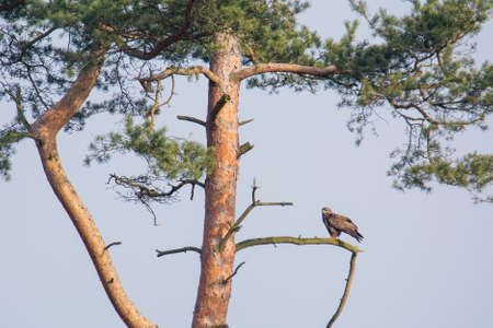 ornitology: Buzzard  on the branch