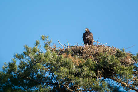 birds in a tree: white-tailed eagle