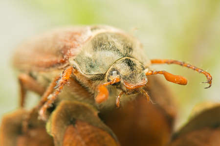 stomach bug: Beetle Stock Photo
