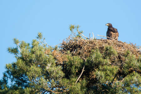 whitetailed: white-tailed eagle