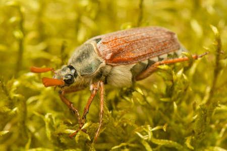 chitin: Beetle Stock Photo