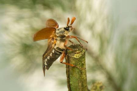 pronotum: Beetle Stock Photo