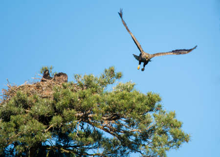 white-tailed eagle photo