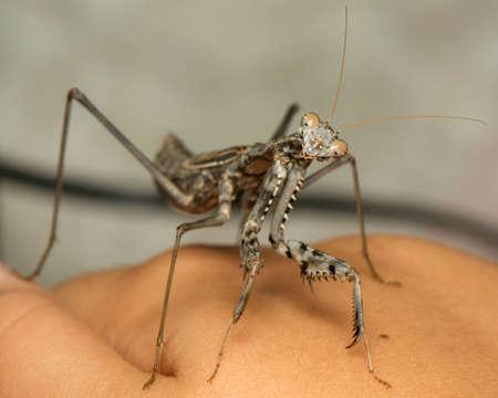 macrophotography: praying mantis