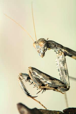 mantis: praying mantis