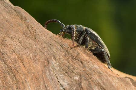 cerambycidae: Big beetle
