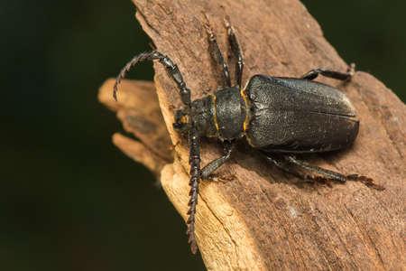 chitin: Big beetle