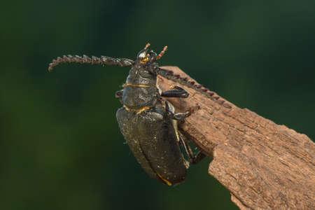 stomach bug: Big beetle