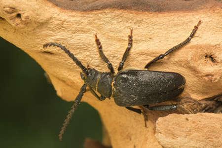 pronotum: Big beetle