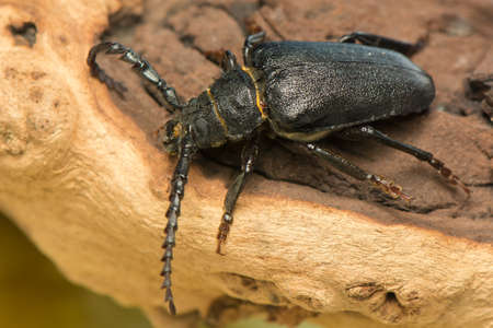pronotum: Big beetle