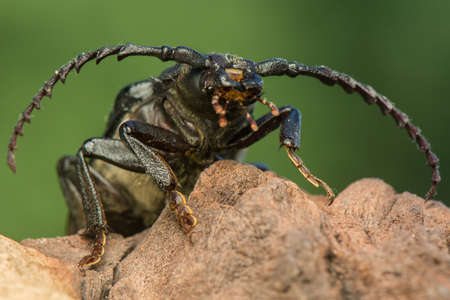 cerambycidae: beetle Stock Photo