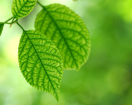 Closeup of green leaves of a tree Stock Photo - 1065857
