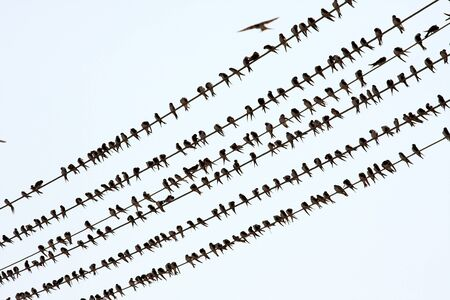 power cables: Many birds on elctric wires Stock Photo