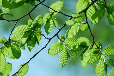 Green leaves of a tree in spring Stock Photo - 4707381
