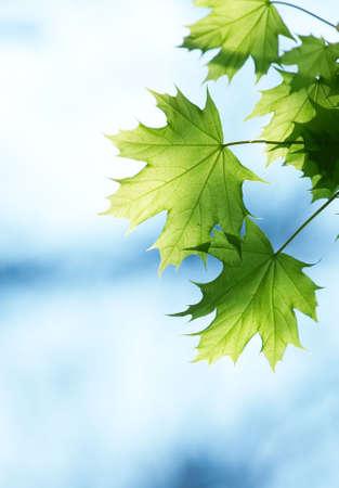Les feuilles vertes contre le ciel bleu au printemps