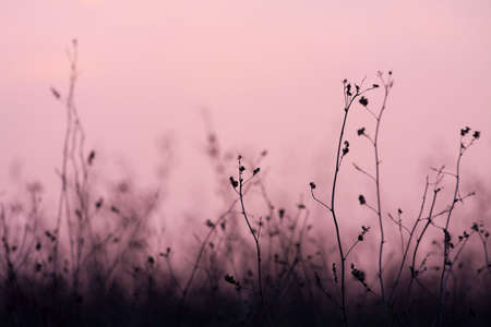 Dry plant silhouettes on a field in twilight