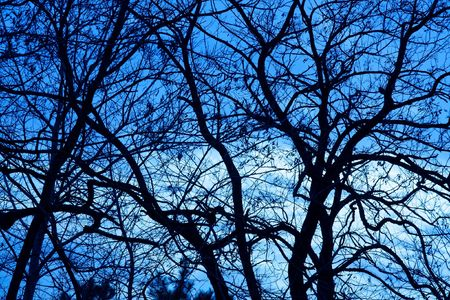 Bare, leafless tree branches against evening blue sky photo