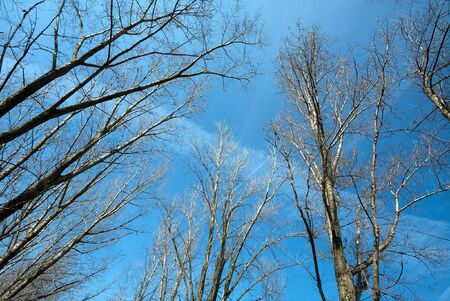 Bare, leafless treetops against clear blue sky photo