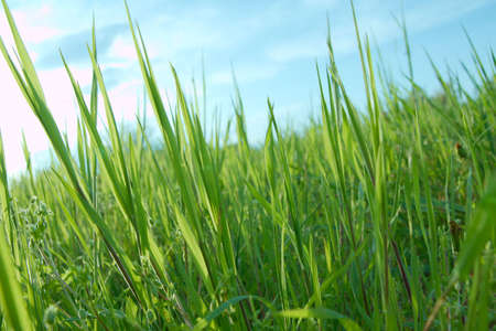 Grass blades closeup from low angle Stock Photo - 5703356