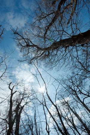 Bare, leafless treetops in a sunshine photo