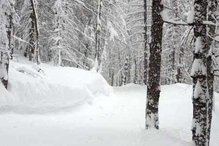 Pale winter forest with trees covered by snow Stock Photo - 5915118