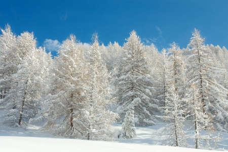 monta�as nevadas: Bosque de invierno cubierto de nieve con cielo azul claro