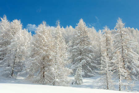 frostbitten: Snowy winter forest with clear blue sky