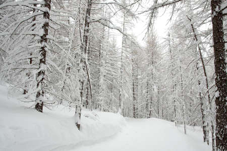 Winter forest with trees full of snow photo